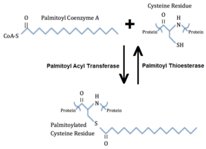 Palmitoylation - Palmitoylation of a cysteine residue