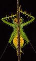 Panacanthus cuspidatus (14988816177).jpg