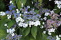 Panicle Hydrangea (4296509914).jpg