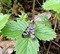 Panorpa vulgaris, Mecoptera, Panorpidae.jpg