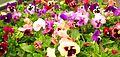 Pansies that look like smiling faces.jpg