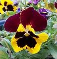 Pansy Flower.jpg