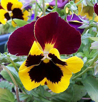 Pansy - Image: Pansy Flower
