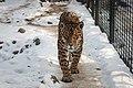 Panthera onca -Warsaw Zoo, Poland -snow-8a.jpg