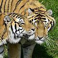 Panthera tigris altaica - Zoo Sauvage de Saint-Félicien - 2016-07-19 (2).jpg