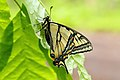 Papilio canadensis UL 04.jpg