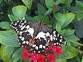 Papilio demoleus 3.jpg