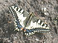 Papilio machaon - Common yellow swallowtail - Махаон (26302947767).jpg
