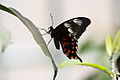 Papilio polytes 8193.JPG