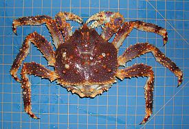 Paralithodes platypus (Blue king crab).jpg