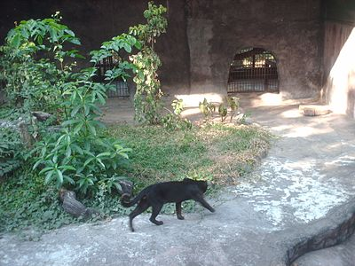 Pardofelis temminckii in Lao Zoo.jpg