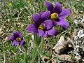 Pasque Flowers (Pulsatilla vulgaris) (8337397423).jpg