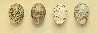 Saxaul sparrow - Four eggs collected by Nikolai Zarudny in Transcaspia
