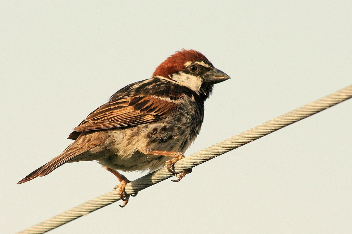 spanish sparrow wikipedia