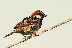 Spanish sparrow - Male in Sardinia