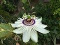 Passiflora 'Winterland'.jpg