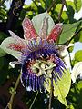 Passiflora maliformis2803720283.jpg