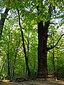 Patriarch oak Holosiiv2.JPG