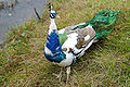 Pavo cristatus -Oak Mountain Petting Zoo, Alabama, USA -colour mutant-8.jpg