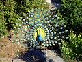 Peacock 22.JPG
