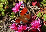 Peacock butterfly IMG 7523 (9496692512).jpg