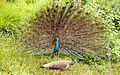 Peafowl - Male courting female.jpg