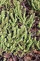 Pelargonium sp. (Geraniaceae) (4581445495).jpg