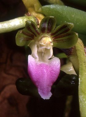 Pelatantheria insectifera Orchi 002.jpg