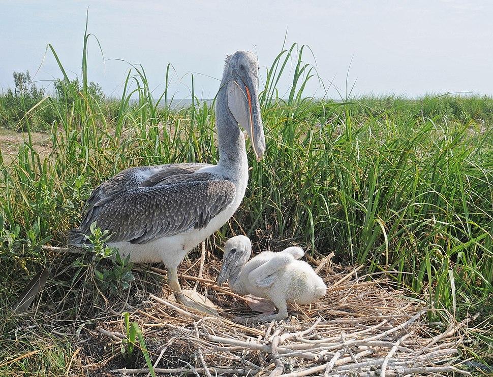 Pelecanus occidentalis -Smith Island, Chesapeake Bay, Maryland, USA -nest-8cr
