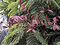 Peltophorum pterocarpum 12.jpg