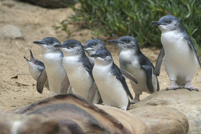 File:Penguin Parade.jpg