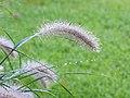 Pennisetum alopecuroides (Lampenpoetsersgras) 01.JPG