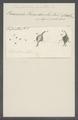 Peridinium cornutum - - Print - Iconographia Zoologica - Special Collections University of Amsterdam - UBAINV0274 113 22 0002.tif