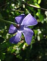 Periwinkle near Ideford - geograph.org.uk - 987889.jpg