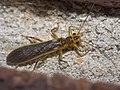 Perlidae P1320828a.jpg