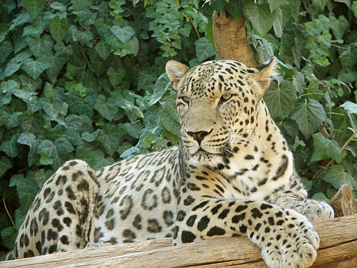 Persian Leopard sitting