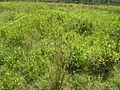 Persicaria hydropiper habit3 NC (17005647208).jpg