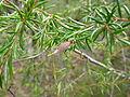 Persoonia hirsuta immature fruit, Boree Track, Yengo National Park.jpg