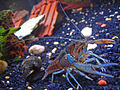 Pet-crayfish-(Clippy-II)-in-freshwater-aquarium-with-apple-snail.jpg