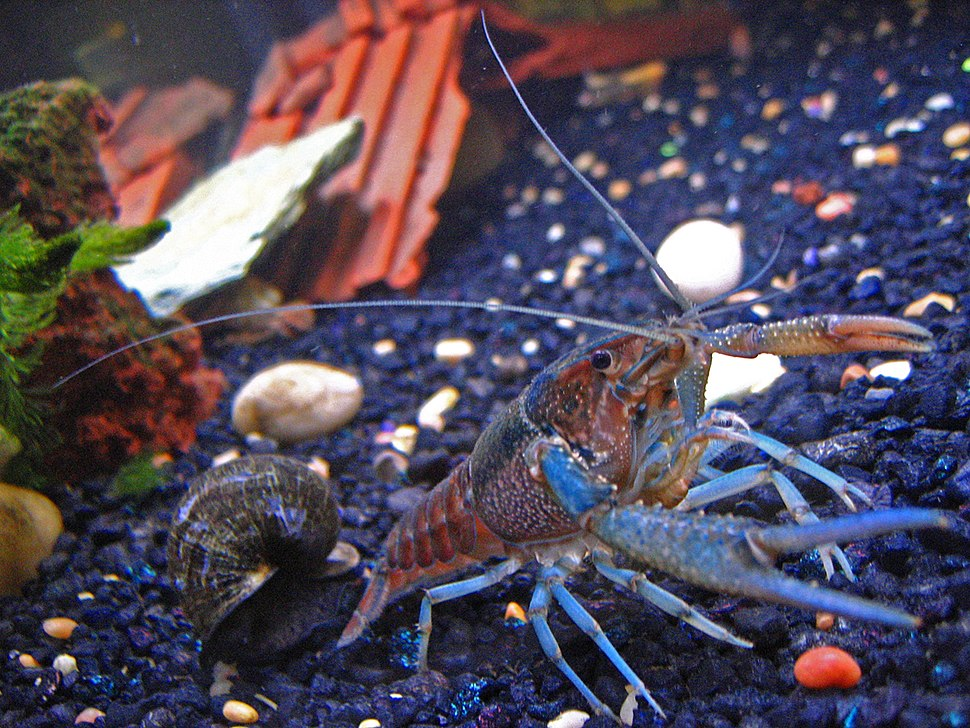 Pet-crayfish-(Clippy-II)-in-freshwater-aquarium-with-apple-snail