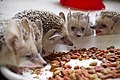 Pet Paraechinus aethiopicus (Desert Hedgehog) from the Kurdistan Region of Iraq, at lunchtime 22.jpg