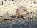 Petrogale xanthopus (43839100974).jpg