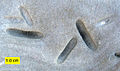 Petroxestes pera Ordovician Ohio.jpg