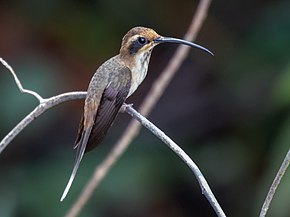 Description de l'image Phaethornis rupununi - Streak-throated hermit; Anavilhanas islands, Novo Airão, Amazonas, Brazil.jpg.