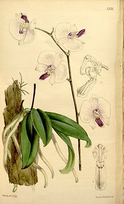 Phalaenopsis lowii З книги James Bateman «A Second Century of Orchidaceous Plants» 1867 р.