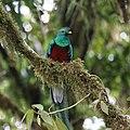 Pharomachrus mocinno Monteverde 16.jpg