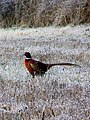Pheasant (Phasianus colchicus) - geograph.org.uk - 1690534.jpg