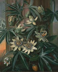 The Blue Passion Flower, for Robert John Thornton's Temple of Flora (London, 1799–1812)