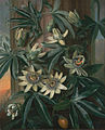 "Philip Reinagle - Blue Passion Flower, for the ""Temple of Flora"" by Robert Thornton - Google Art Project.jpg"