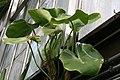 Philodendron rugosum 2zz.jpg